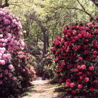 primary-Rhododendron-Festival-1461245639