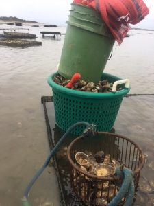 Aquaculture with Oysters