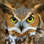Owls of the World – Who's Watching You? with Marcia and Mark Wilson Three Live Owl Programs