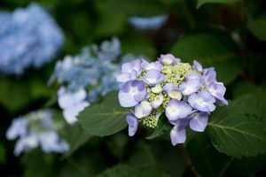 Hydrangea Success Series: Irrigation Workshop