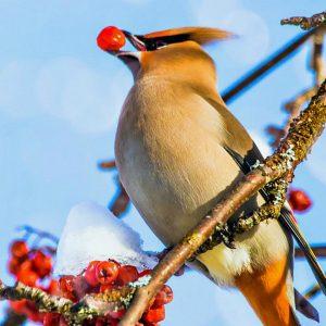 "Lunch 'n Learn presents ""Winter Birds: Cape Cod's ..."
