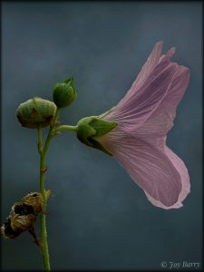 Editing Flower Photos Using iColorama on Zoom