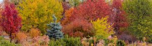 ONLINE: Beautify Your Yard with Ornamental Trees. A Presentation by Priscilla Husband