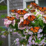 TheCCMNH Butterfly House Opens June 1st!